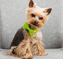 pixie-parcel-butler-dog