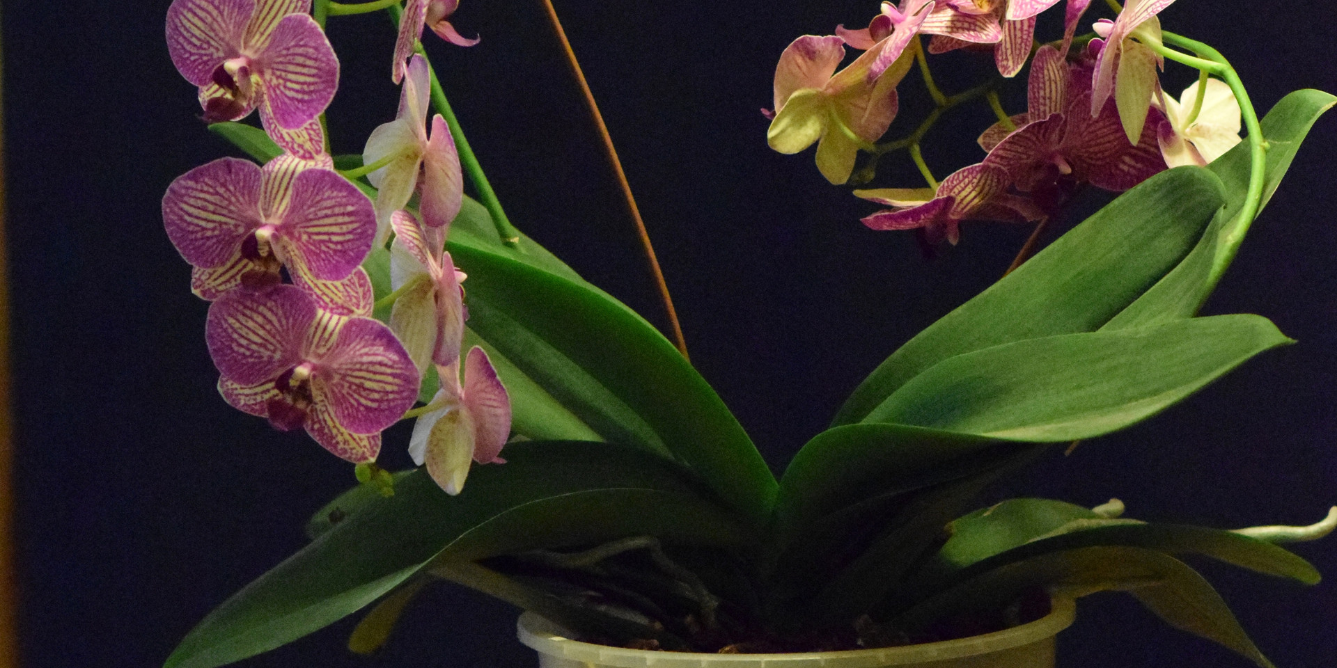 Orchids Love in Times of Corona