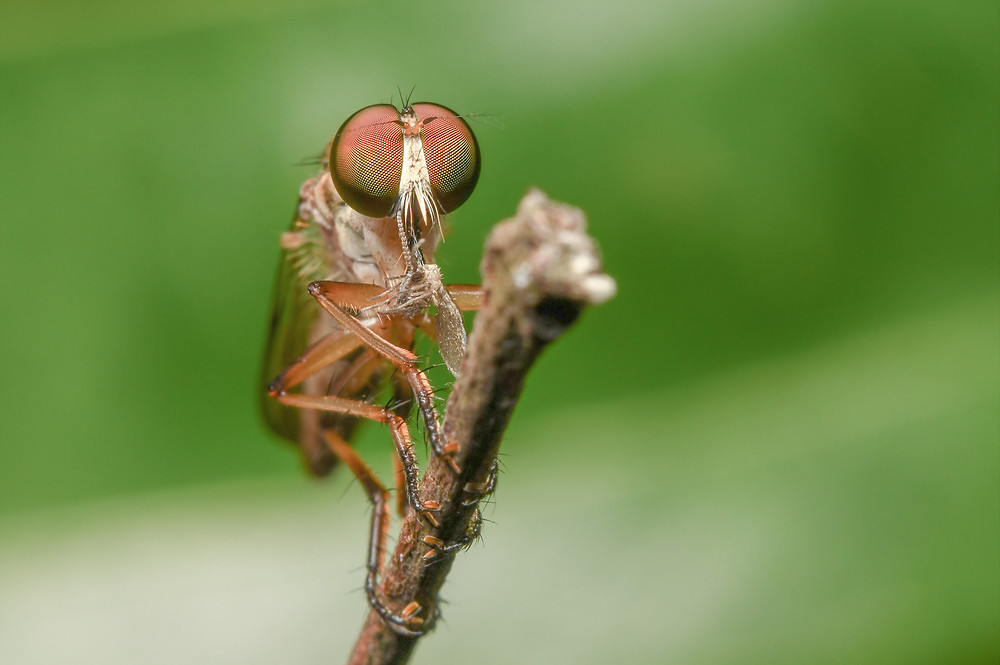 Robberfly, ISO400, 1/100s, f25, 60mm micro f2.8