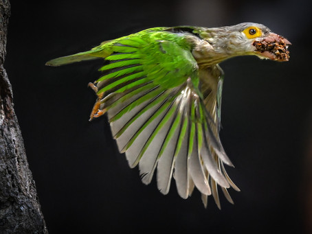 Nikon Z 6 - Nikkor 500mm PF combo excels at capturing the Lineated Barbet