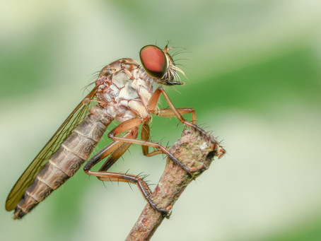 Nikon D850 - Nature Photography, hunting the Robberfly