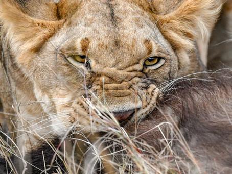 Nikon D850 - The Lions of the Mara