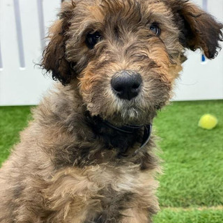 MALE AIREDALE TERRIER $2795