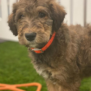 MALE AIREDALE TERR. STANDARD POODLE $2795