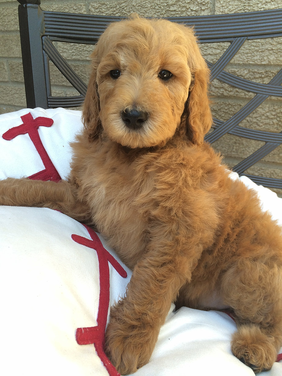 No Shed Dogs Puppies For Sale Non Shedding Puppies