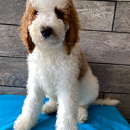 MALE STANDARD PARTI POODLE $2200 BORN MAY 12