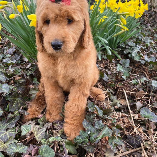 FEMALE F1B GOLDENDOODLE $2750