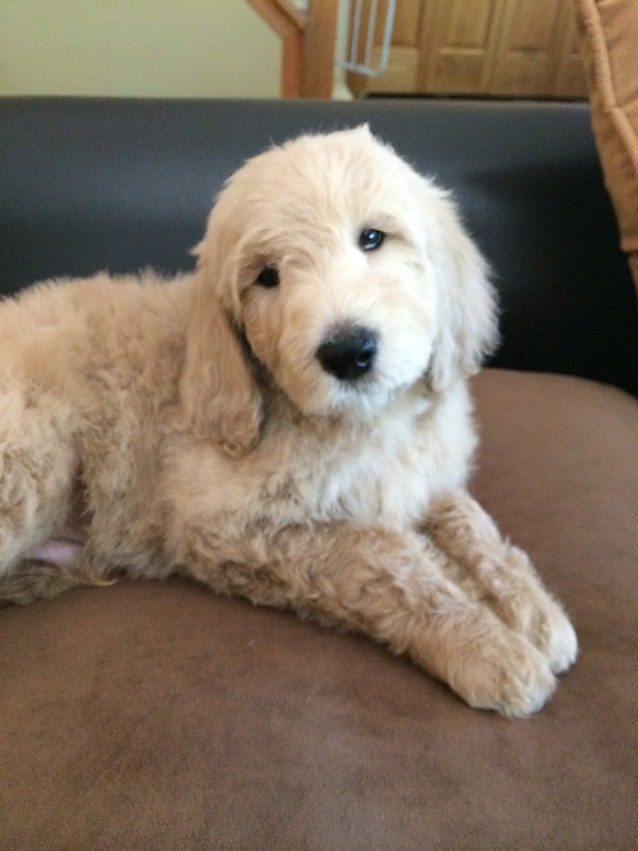 Hypoallergenic Dog Breeds That Don T Shed Dogs That Don T