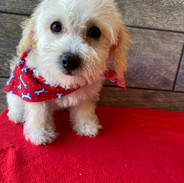 MALE SCHNOODLE $1500