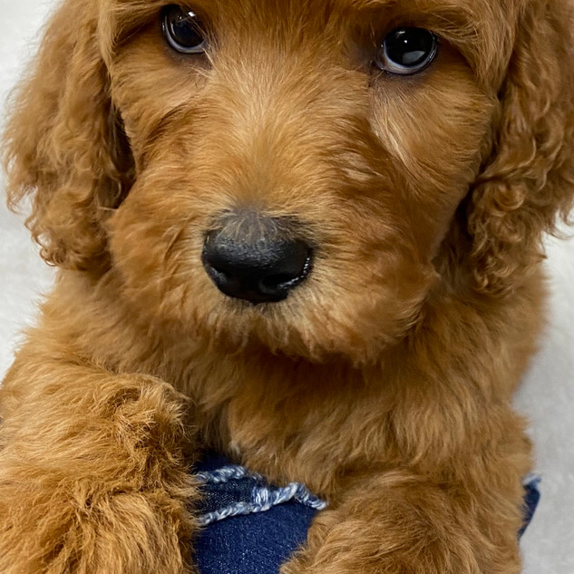 MALE F1B GOLDENDOODLE $2750