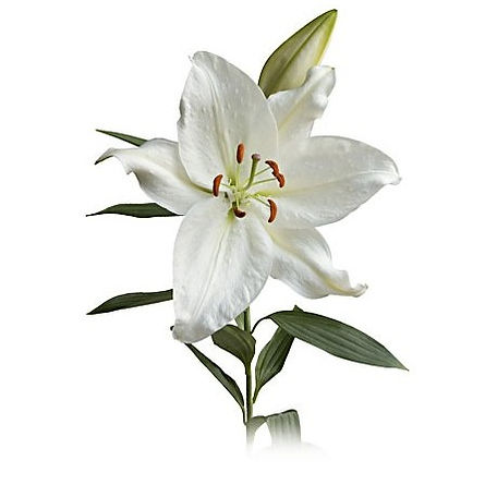 oriental lily.jpg