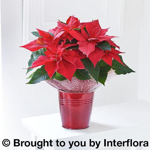 Christmas Poinsettia & Chocolates