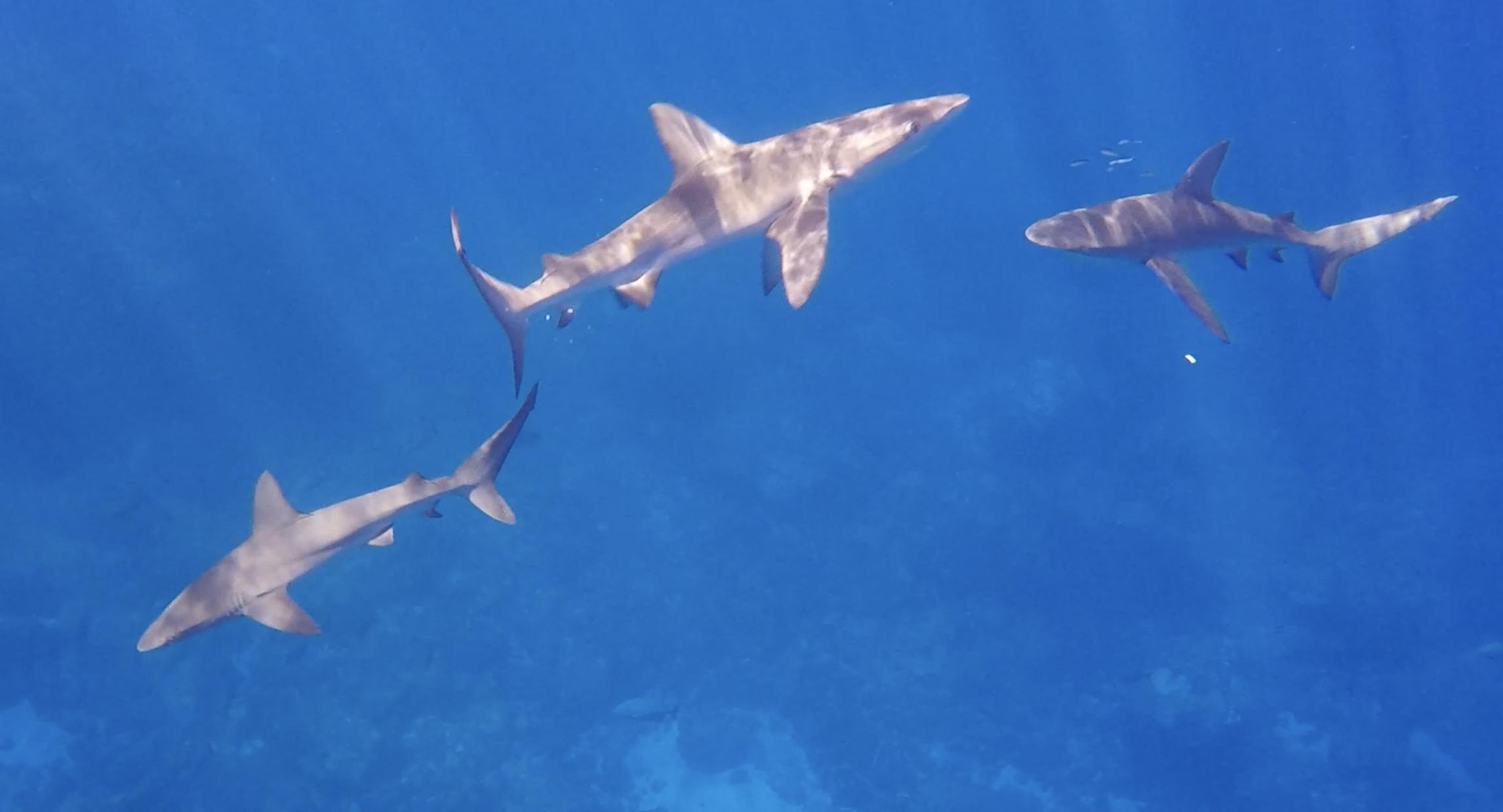 galapagous shark