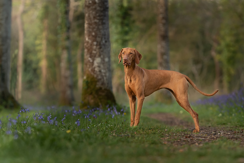 Dog among bluebells.jpg