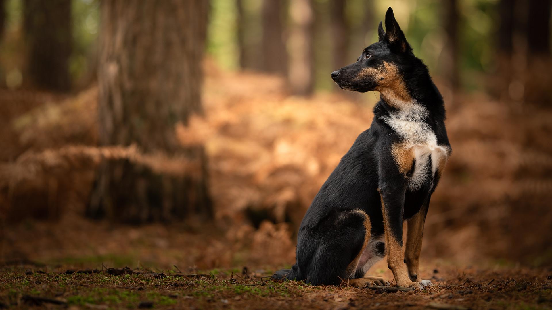 Kelplie in woodland.jpg