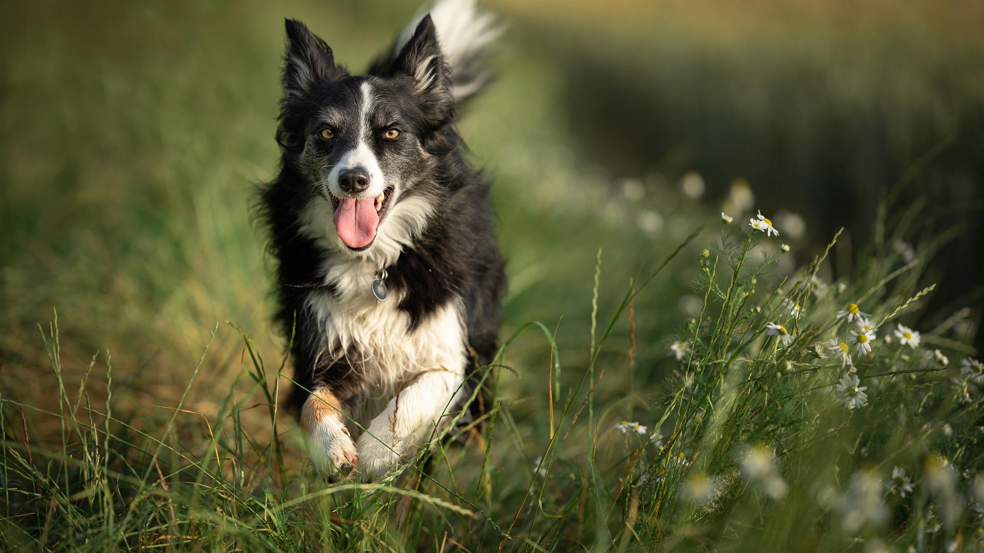 Collie in field.jpg