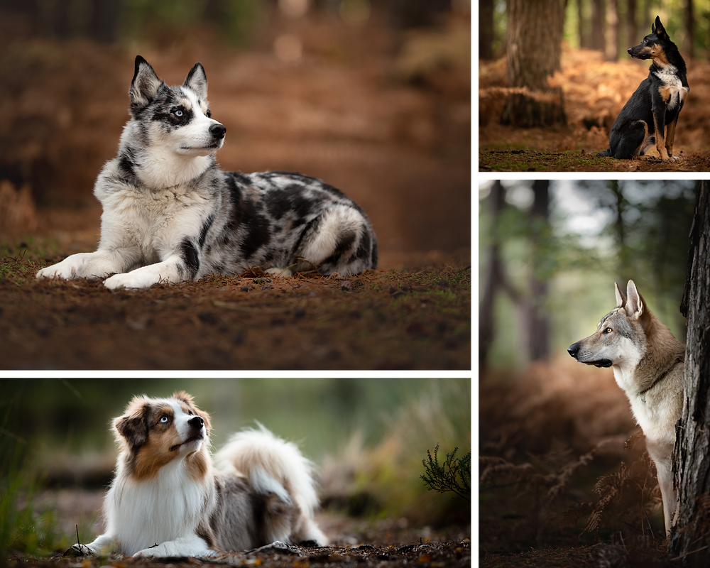 Photographs of dogs in woodland, by Somerset pet photographer Sarah Gibson
