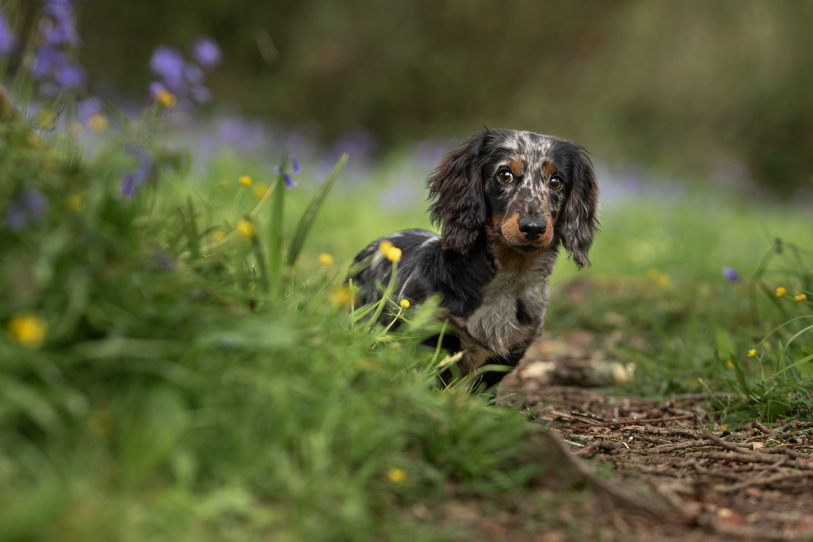 Dachshund in woodland.jpg