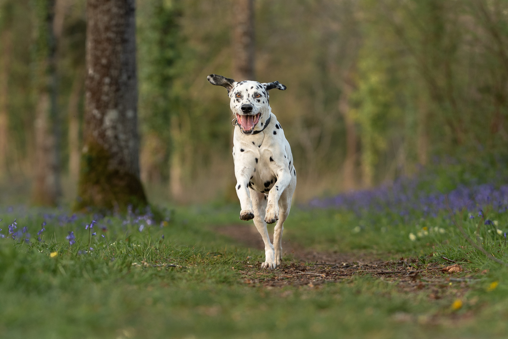 Dog running through bluebells.jpg
