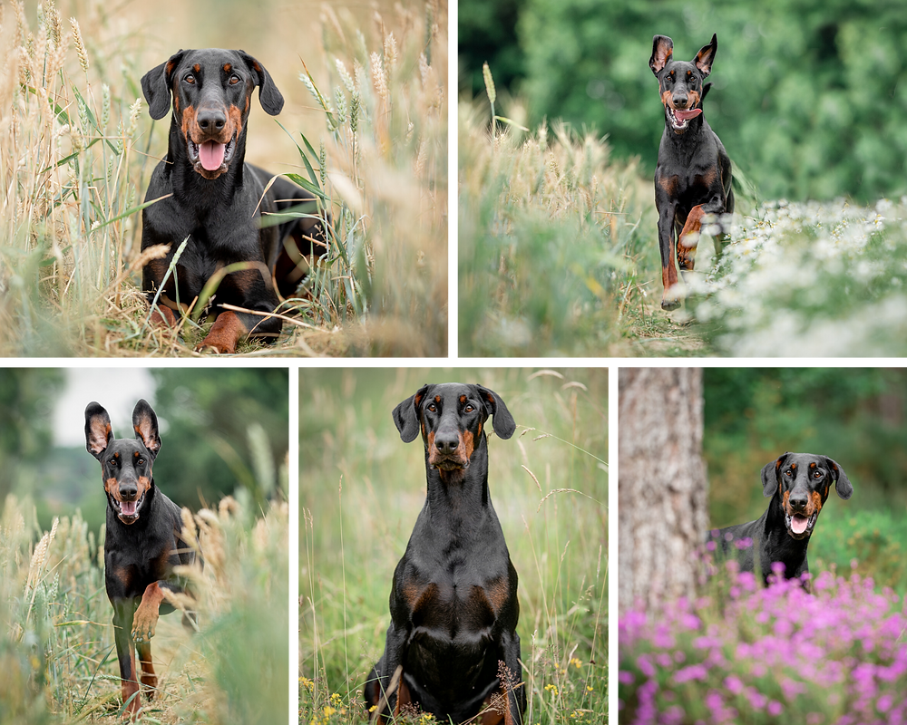 Photographs of doberman in fields, by Somerset per photogrpher Sarah Gibson