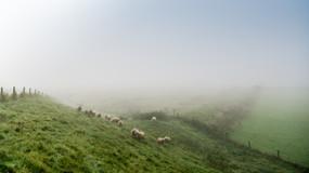schaapjes in de mist