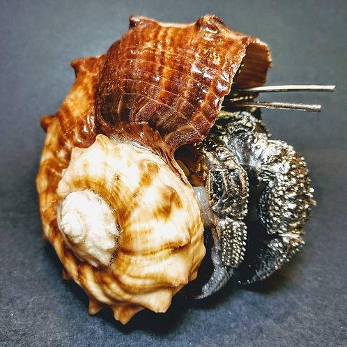 sea shell hermit grab