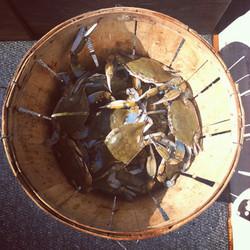 Delmarva blue crabs on my dad's boat