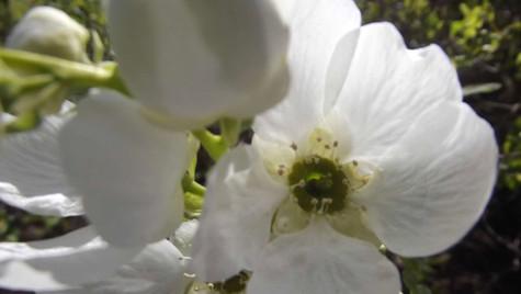 open white blossom