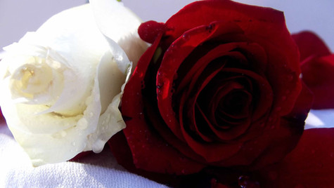 white red rose