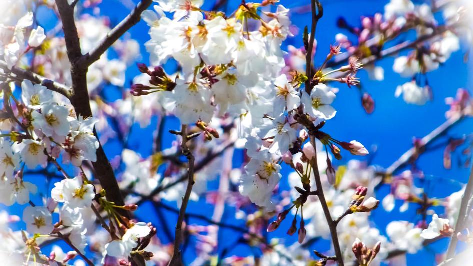 white blossoms 1