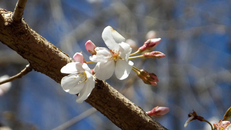 whirw and pink blossoms