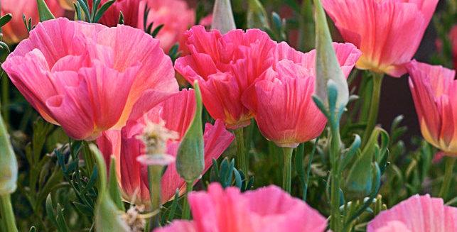 Eschscholzia- California Frilled Rose       100 Seeds