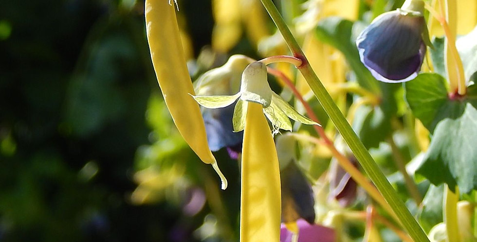 Pea- Golden Podded                            15 Seeds