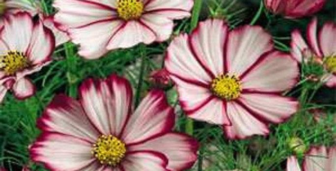 Cosmos Sensations Picotee      40 Seeds