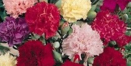 Carnation Grenadin Mix                     70 Seeds