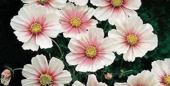 Cosmos Sensations Day Dream      40 Seeds