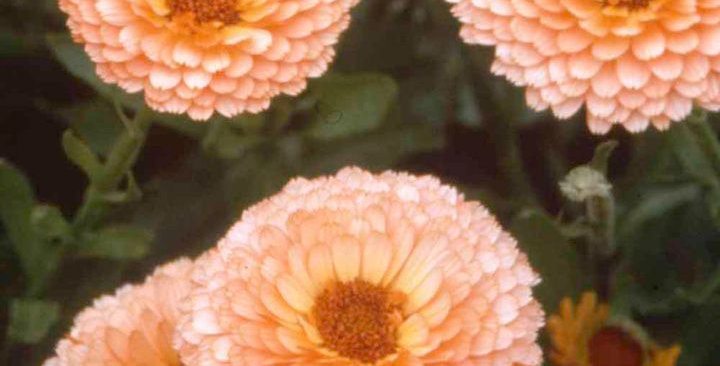 Calendula Pink Surprise                     25 Seeds