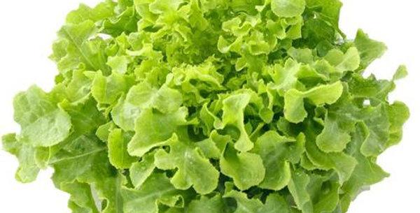 Lettuce- Salad Bowl Green            100 Seeds