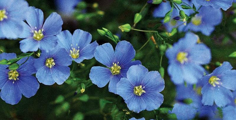 Linum- Perenne Blue               200 Seeds