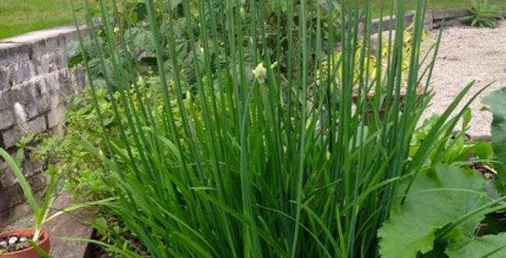 Chives- Garlic                                        50 Seeds