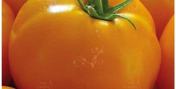 Tomato- Yellow Grosse Lisse         40 Seeds