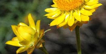 Everlasting Daisy- Yellow                    80 Seeds