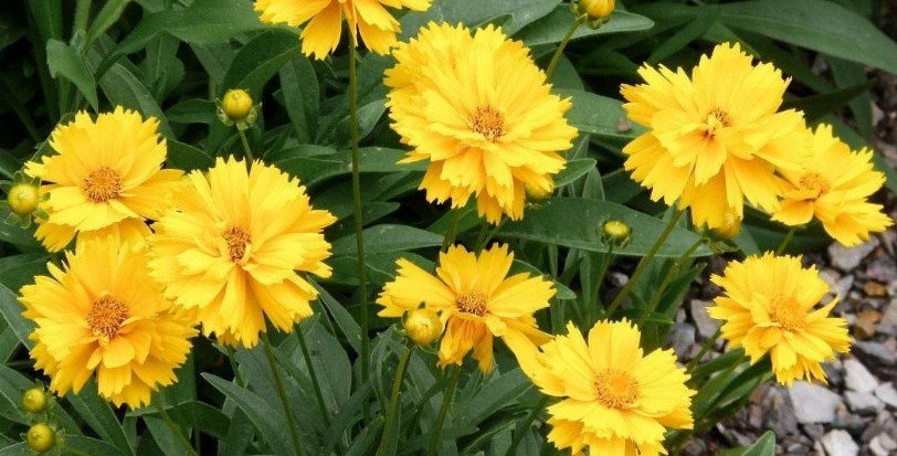 Coreopsis Mayfield Giants      50 Seeds