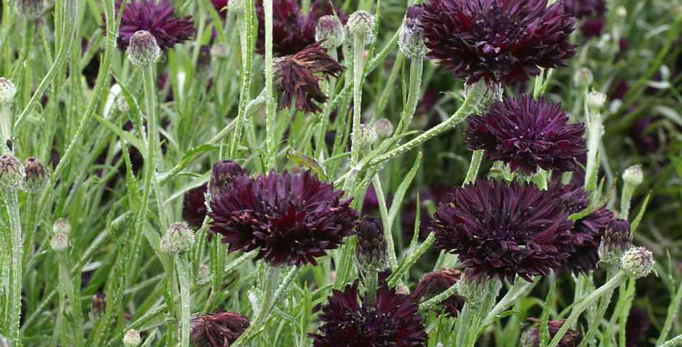 Centaurea Black Ball                           40 Seeds