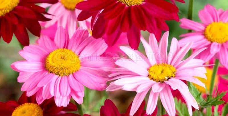 Chrysanthemum Robinsons Giants mix      100 Seeds