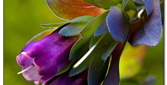 Cerinthe Purple Belle     5 Seeds