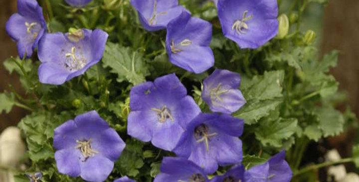 Campanula Carpatica- Pearl Deep Blue   100 seeds