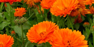 Calendula Ball Improved Orange     25 Seeds