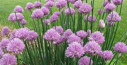 Chives- Large                                           80 Seeds