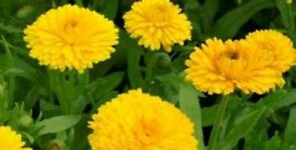 Calendula Golden Emperor     25 Seeds